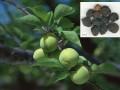 中药草本植物 (6)